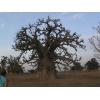 Баобаб. Порошок мякоти плодов. Оздоровительная продукция из Западной Африки. ИП