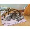 бенгальские котята мини леопарды c подарками