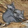 донской сфинкс котики черные,голые