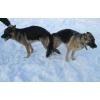 Инструктор по вязке собак и прием родов.