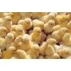 Продам цыплят несушки