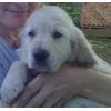 Продам очаровательных щенков голден(золотистого) ретривера