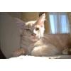 Котята кремового окраса породы Мейн Кун