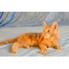 Котята мейн-кун из питомника Огненный Хвост
