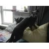 Котята Русской голубой, питомник Синильга