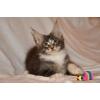 Крупный кистястый котик мейн-кун из питомника