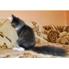Крупный котик мейн-кун в смокинге