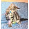 Лесной полосатый котик мейн-кун из питомника