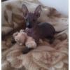 Мексиканская голая собака мини