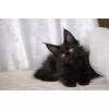 Мейн-кун котяра-рысята, (доставка)