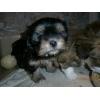 Очаровательные щенки метисы, смесь шпица с мальтийской болон