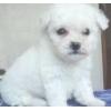 Продам щенка Бишон Фризе
