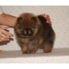 Цены на  щенков  от 14 до 23 тысяч рублей