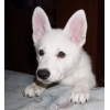 Продам щенков белой швейцарской овчарки