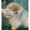 Продаются щенки, выставочное животное