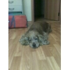 Пропала собака кокер спаниель, рыжий! в Заельцовском районе. Вознаграждение!