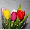 Тюльпаны Голландские экстра класса в Новосибирске