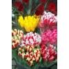 Тюльпаны оптом к 8 марта в Новосибирске 2015