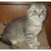 вислоухий котенок-совёнок